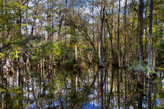 Cypress of the Everglades reflecting in a swamp Stock Image