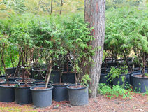 Cypress evergreen shrubs in pots. Grown for planting in the garden Royalty Free Stock Photo