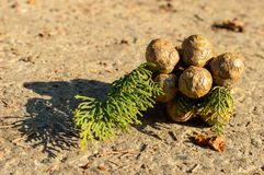 Cypress foliage and cones Royalty Free Stock Photography