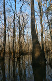 Cypress Forest. Cypress trees in a flooded forest in Florida Stock Image