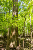 Cypress forest and of Congaree National Park in South Caro Royalty Free Stock Photo