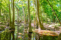 Cypress forest and of Congaree National Park in South Caro Royalty Free Stock Photos