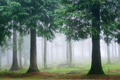Cypress forest with fog Stock Photo