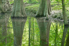 Cypress forest and swamp of Congaree National Park in South Caro Royalty Free Stock Image