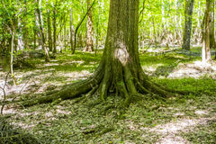 Cypress forest and swamp of Congaree National Park in South Caro Stock Photography