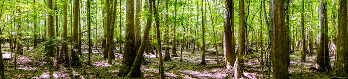 Cypress forest swamp of Congaree National Park in South Caro Royalty Free Stock Photography