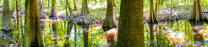 Cypress forest swamp of Congaree National Park in South Caro Royalty Free Stock Photos