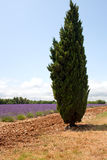 Cypress in front of lavender field, Provence, France. Royalty Free Stock Photos