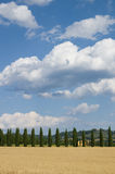 Cypress in grain field, Tuscany. Typical italian tree in Chianti Royalty Free Stock Photography