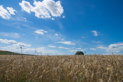 Cypress in grain field, Tuscany Royalty Free Stock Image
