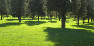 Cypress in grass field. Beautiful shadow of cypress in grass field in a sunny day Stock Image