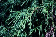 Free Cypress Green Branches Close Up, Macro Photo Royalty Free Stock Images - 151535439