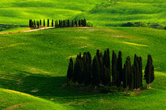Cypress grove in the meadow. Green summer meadow landscape. Summer in the fields. Idyllic view of hilly farmland in Tuscany in bea Stock Photography