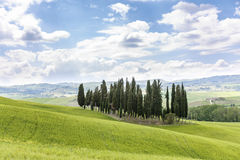 Cypress grove of trees Stock Photography