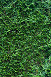Cypress hedge Royalty Free Stock Images