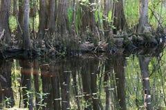 Cypress i Svart-vatten Fotografering för Bildbyråer