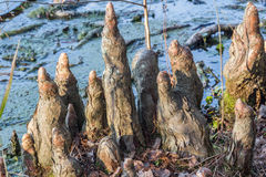 Cypress Knees Royalty Free Stock Photography
