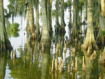 Cypress Knees. The unique root system of the Bald Cypress trees Stock Images
