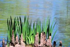 Cypress knees, iris leaves, and ripples. Cypress knees and iris leaves against the ripples of a small lakes. San Antonio Botanical Gardens, Texas Royalty Free Stock Images