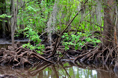 Cypress knees in Louisiana bayou Stock Image