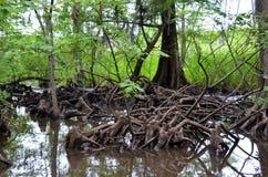 Cypress knees in Louisiana bayou Royalty Free Stock Images