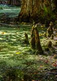 Cypress Knees Arising royalty free stock photos
