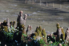 Cypress knees and spring snowflakes Royalty Free Stock Photos