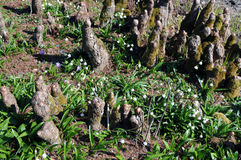 Cypress knees and spring snowflakes Stock Photos