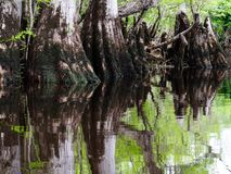 Cypress knees in the swamp Royalty Free Stock Photos