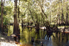 Cypress Knees in a Tropical River (4) Stock Photos