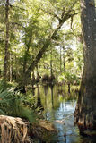 Cypress Knees in a Tropical River (6) Stock Photography
