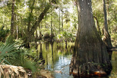 Cypress Knees in a Tropical River (7) Stock Photos