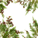Cypress Leaf Border Stock Image
