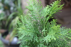 Cypress leaves Stock Photo