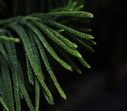 Cypress leaves with green colour royalty free stock images