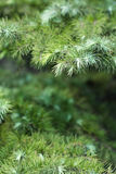 Cypress leaves. In the summer Stock Photography