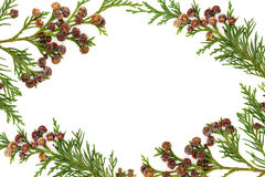 Cypress Leyland Leaf Border Stock Photography