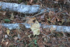 Cypress limbs lying among leaves Royalty Free Stock Photography