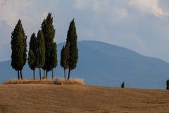 Cypress med en bal av sugrör Royaltyfria Bilder