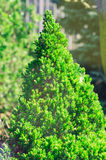 Cypress micro spruce in the park green needles.  Stock Photo