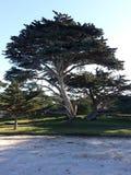 cypress monterey Royaltyfria Foton