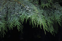 Cypress. Is the name applied to many plants in the  family Cupressaceae, which is a conifer of northern temperate regions. Most  species are trees, while a few royalty free stock image