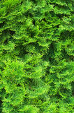 Cypress needles Royalty Free Stock Image
