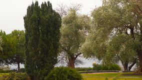 Cypress in the olive grove stock video