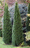 Cypress ornamental trees Stock Photography