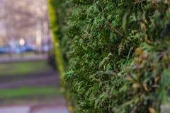 Cypress på en suddig bakgrund Royaltyfri Fotografi