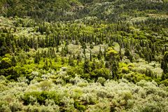 Cypress pine dominated vegetation Royalty Free Stock Photography