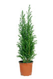Cypress in POT. Immagini Stock