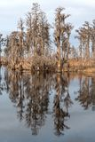 Cypress Reflections on a Southern Bayou Royalty Free Stock Image