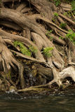 Cypress roots Stock Photos